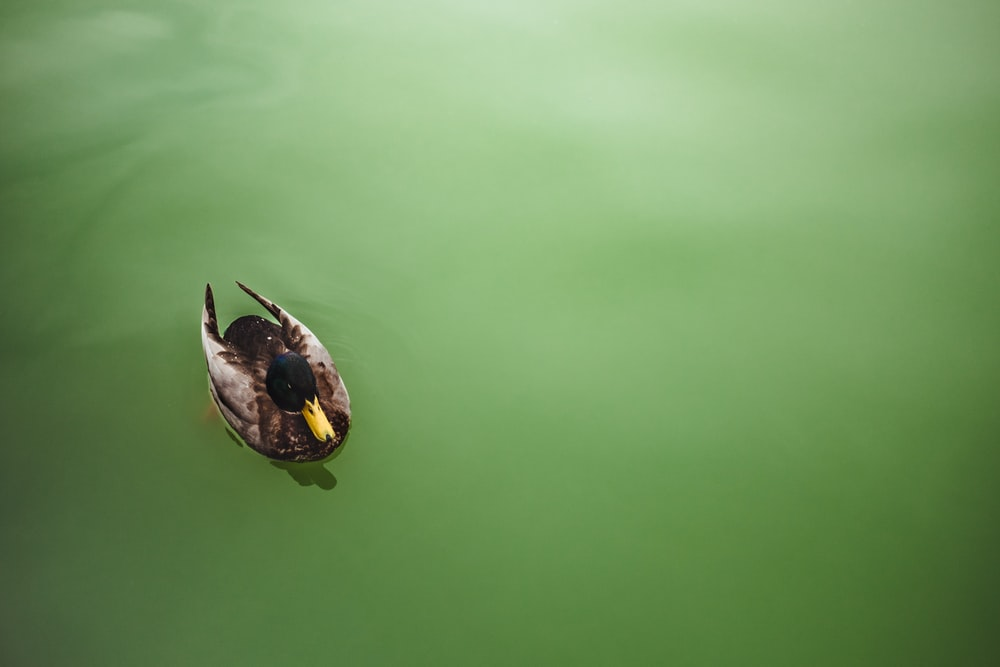 mallard duck on water