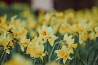 yellow-petaled flower field