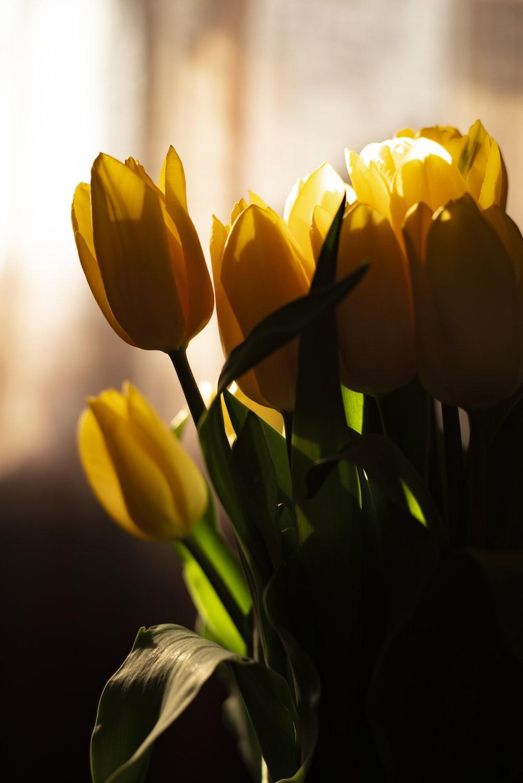 blooming yellow tulip flowers