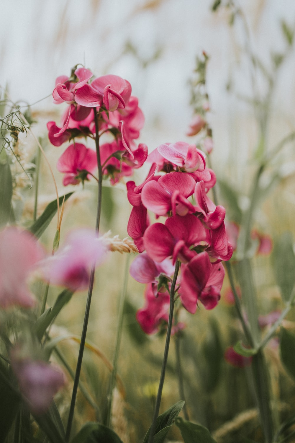 selective focus photography of pink moth orchids