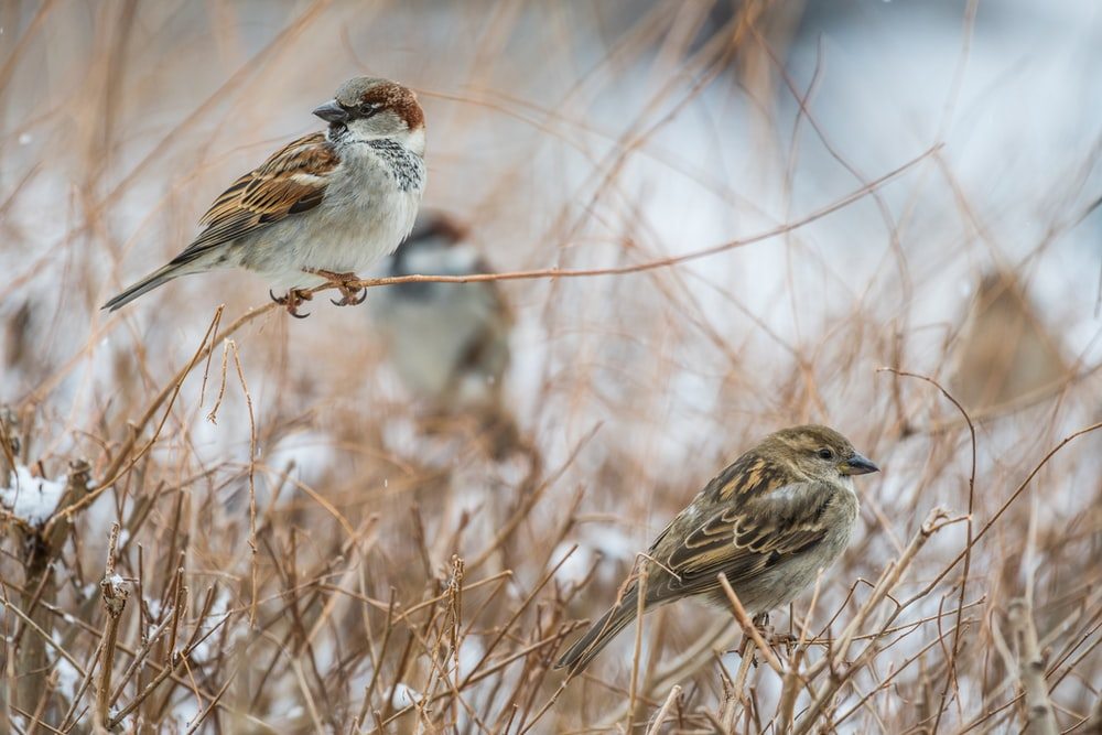 brown sparrow birds pearching on brown grass