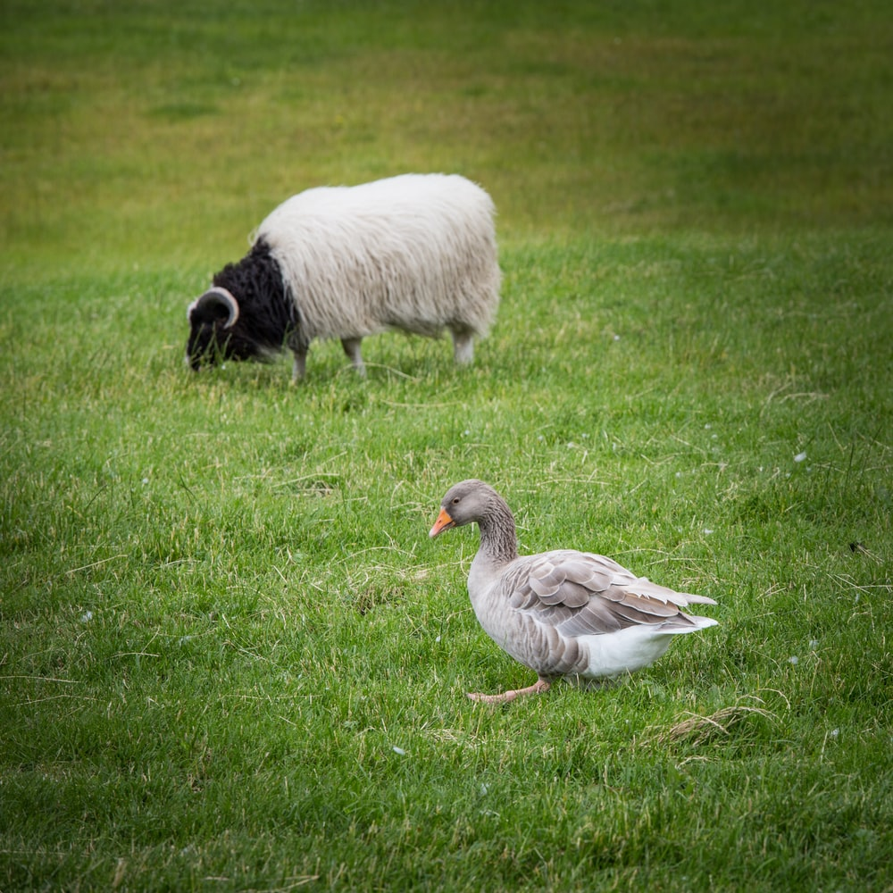 gray duck and white ram on green grass