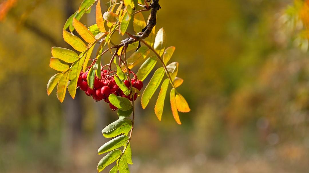 Rowan red berries (mountain ash), Arrowtown, Otago, New Zealand