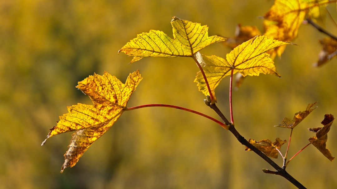 Yellow backlit maple leaves, Arrowtown, Otago, New Zealand