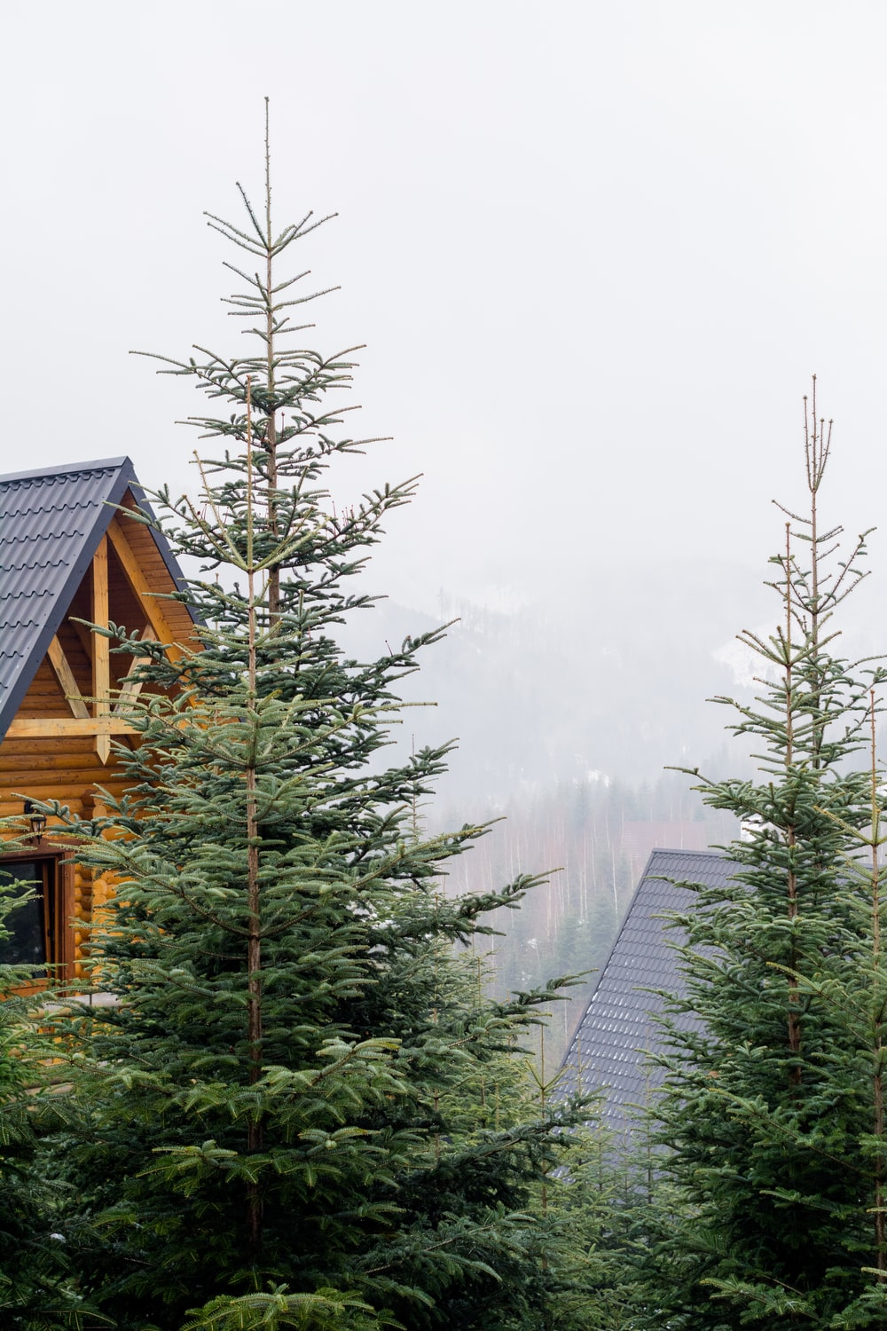 two green pine trees beside house