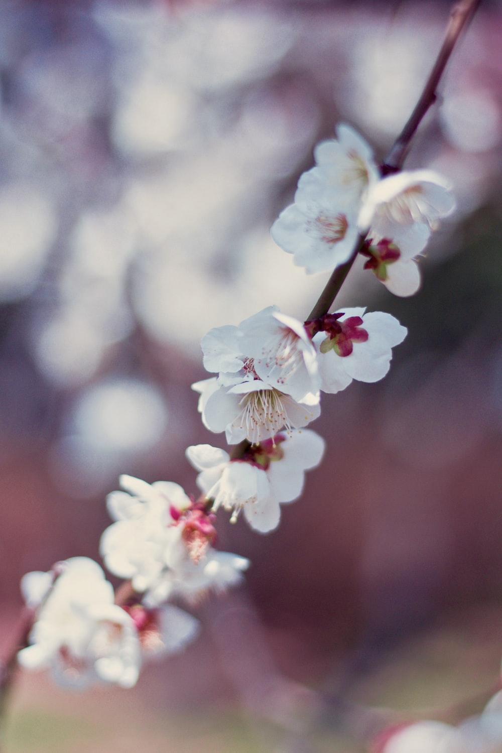 close-up photography of white cherry blossom