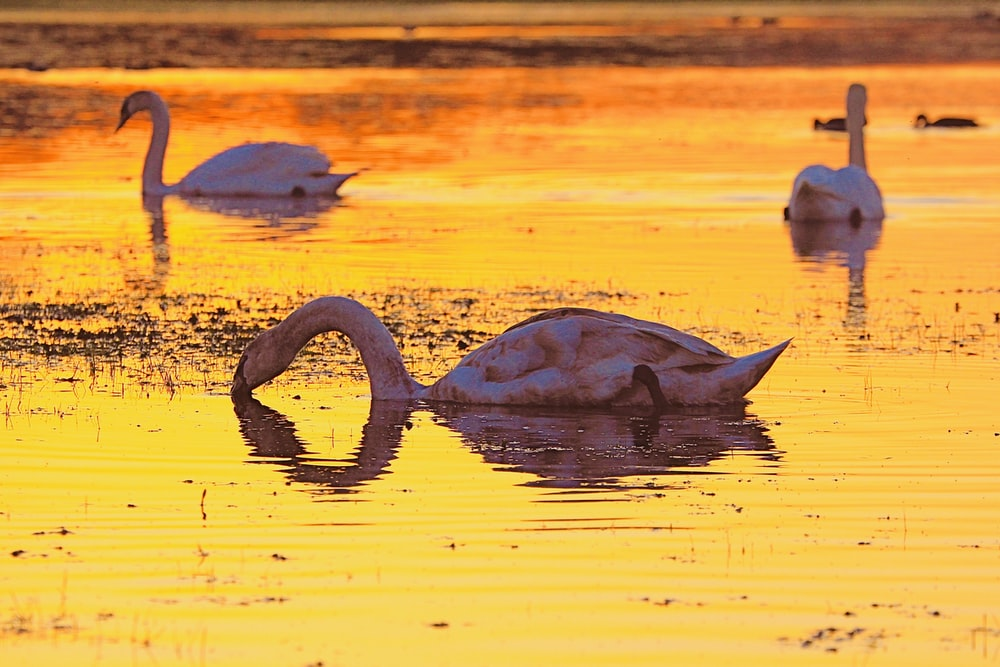 three white long-neck swans on water