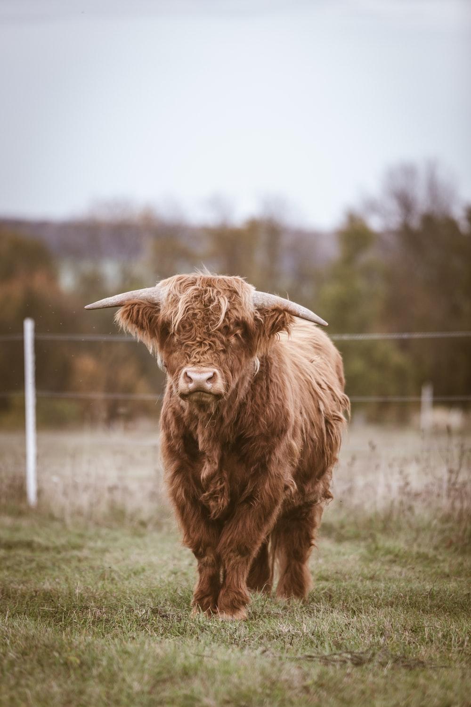 Scottish Highland Cattle During Daytime Photo Free Animal