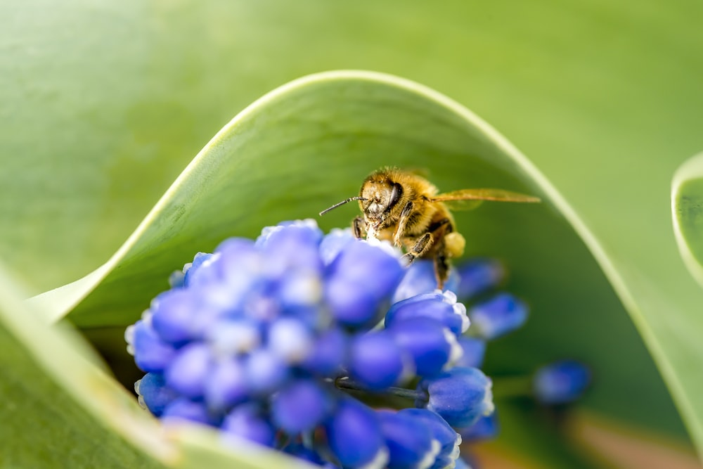 selective focus photography of brown bee on blue flower