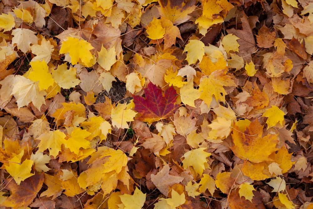 yellow and brown fallen maple leaves