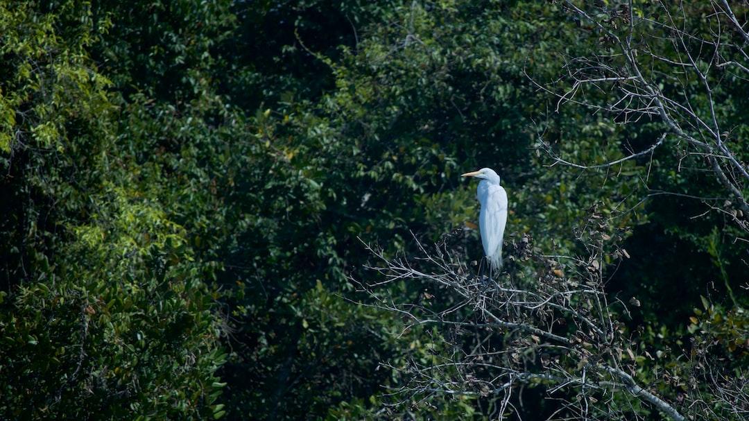 The Great White Egret in Sundarbans