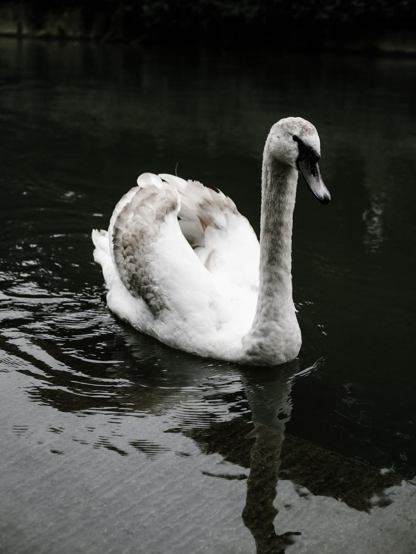 mute swan on body of water