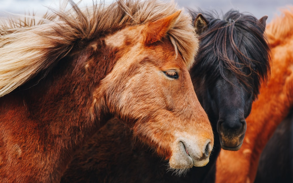 selective focus photography of brown and black horses
