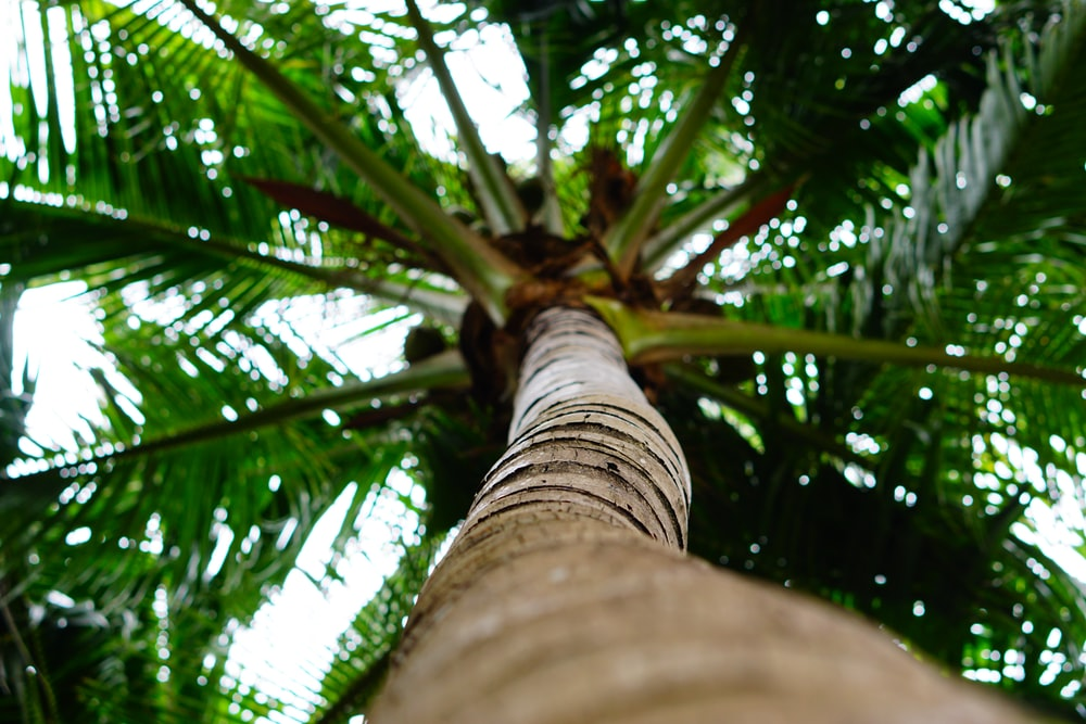 low angle photo of coconut tree