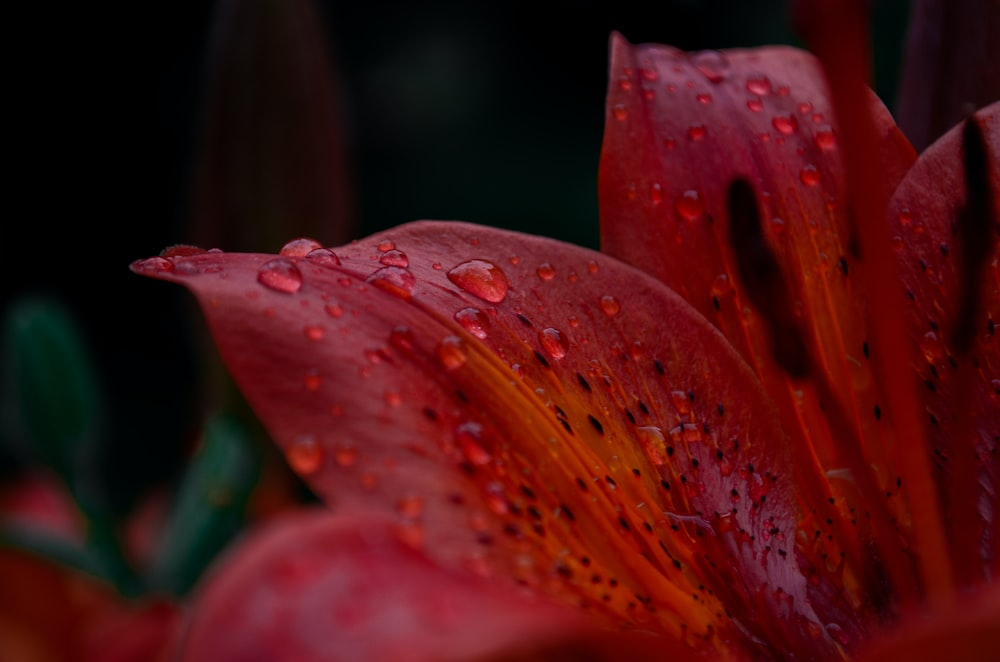 macro photography of red flower