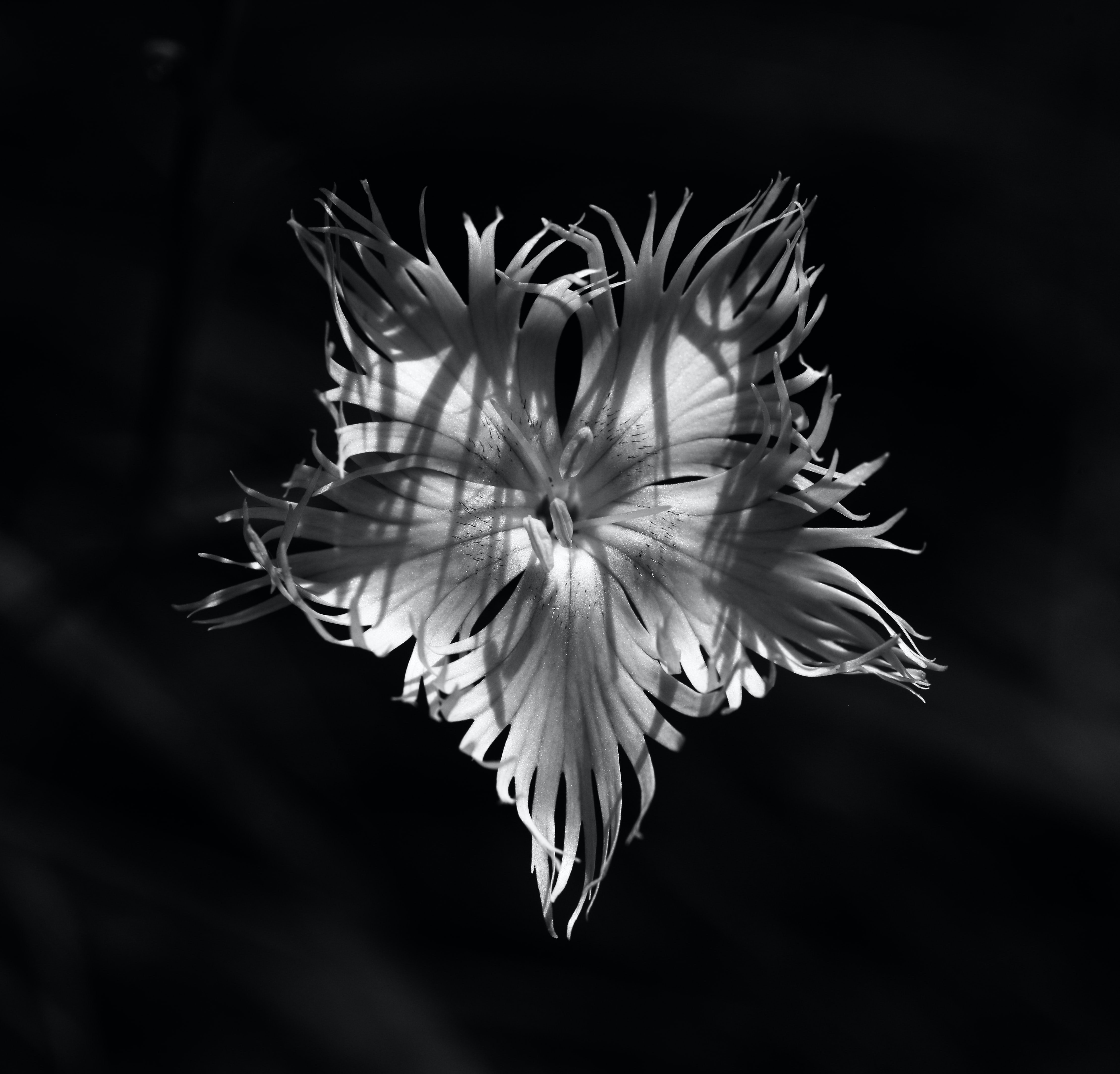 grayscale photo of flower bloom top-view photography