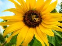 bee perching on sunflower nectar