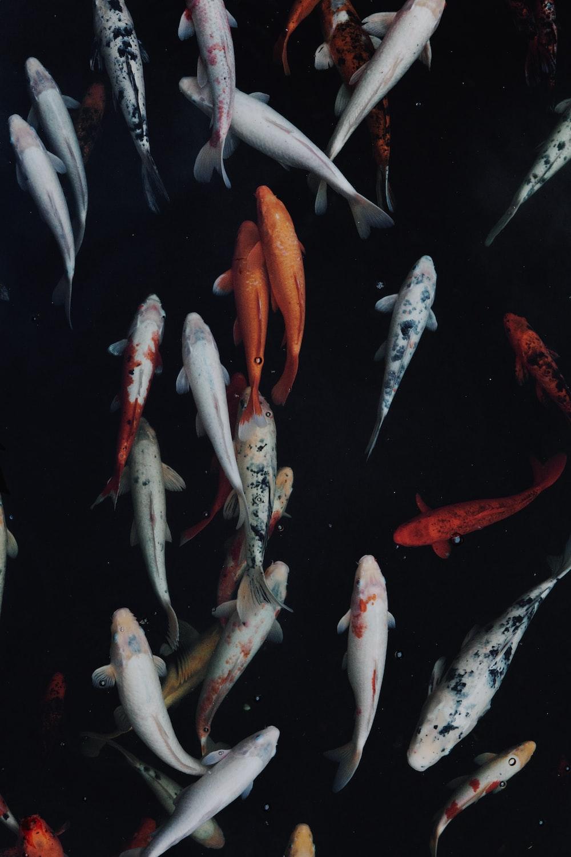 Animal koi carp and wallpaper hd photo by david - Carp wallpaper iphone ...