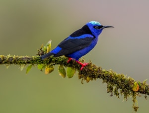 blue hummingbird on tree branch