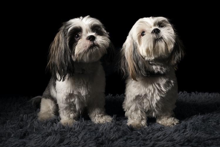 shihtzu_puppies