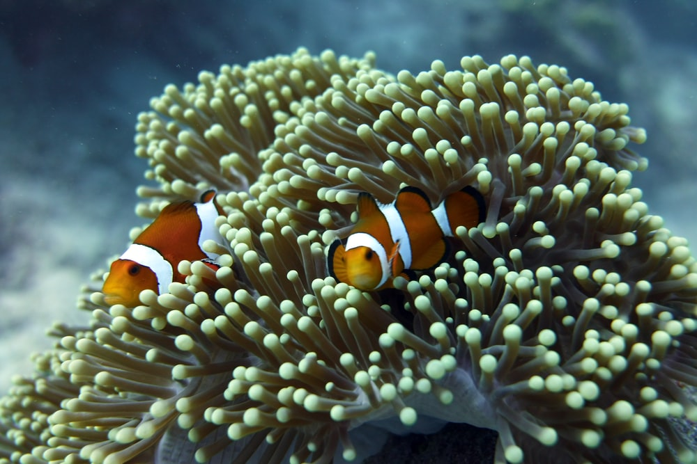 shallow focus photo of clown fish