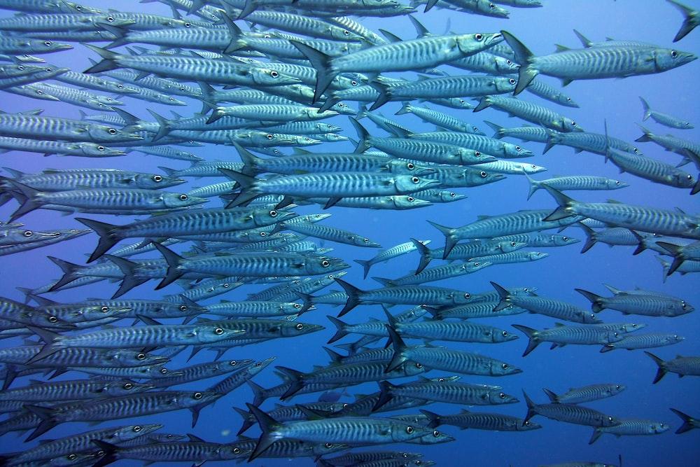 school of gray fish
