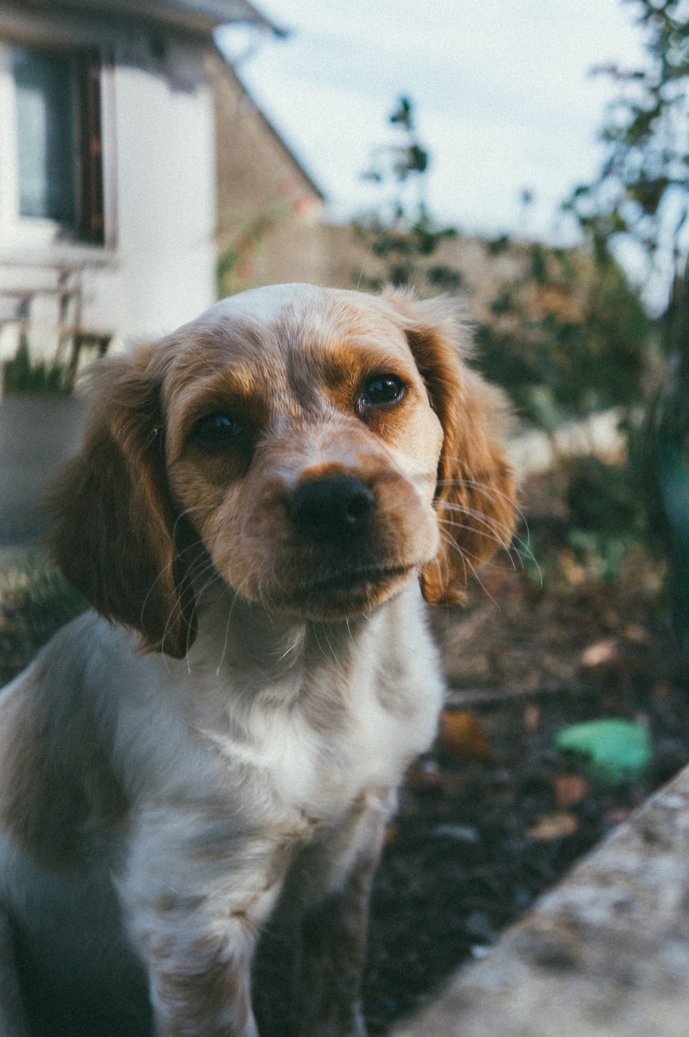 shallow focus photo of white and brown long-coated puppy