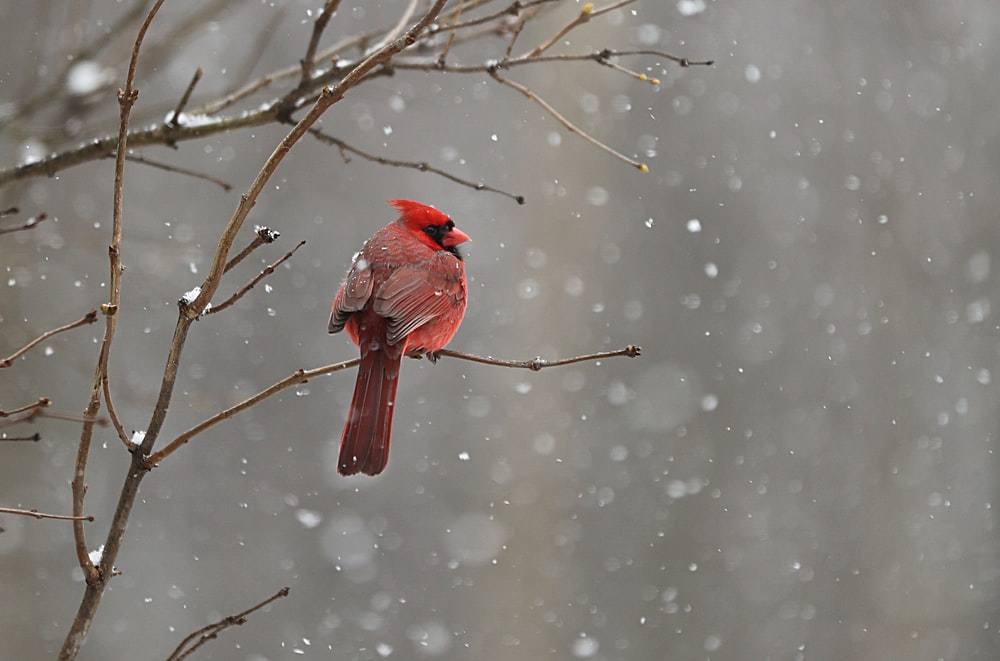 red cardinal on tree branch