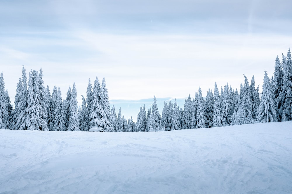 snow covered pine trees at snowy mountain slope