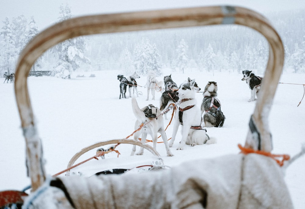 group of Siberian Huskies on snowfield during daytime