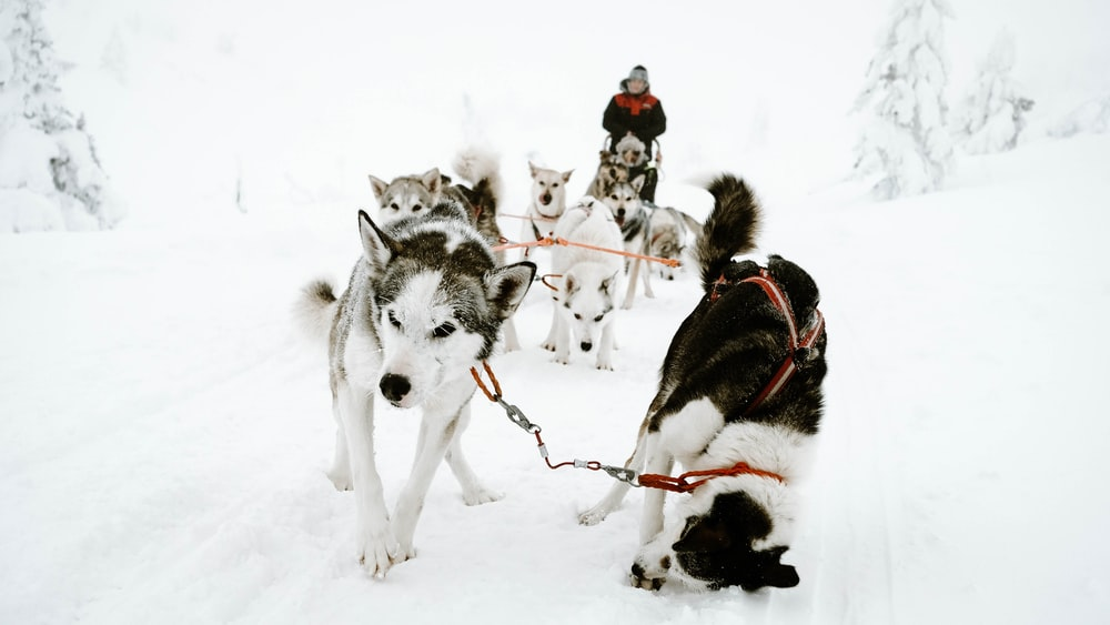 white and gray Siberian husky walking on snow covered road
