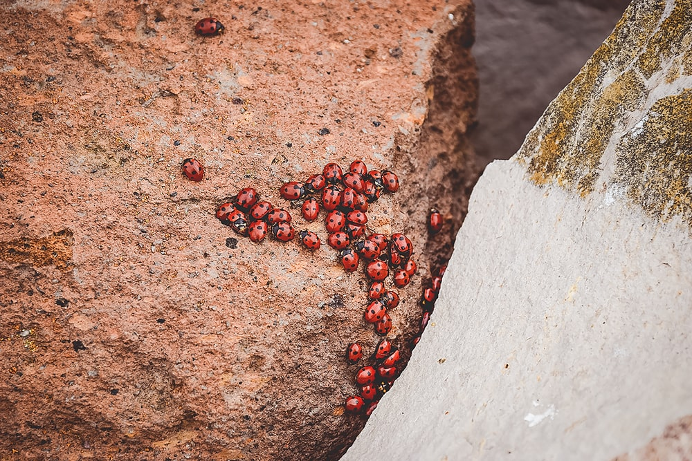 red lady bugs on ground