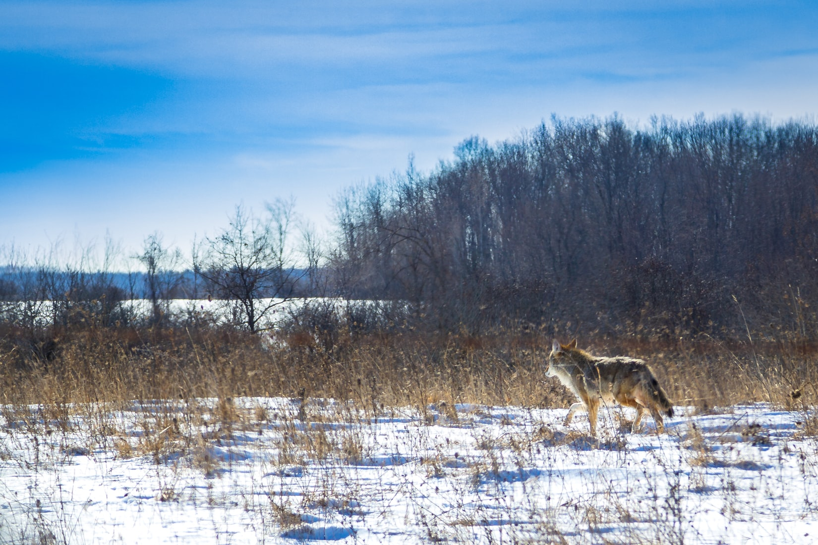 Telling the Scientific Truth About Coyotes