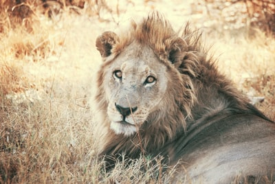 brown lion mammal teams background