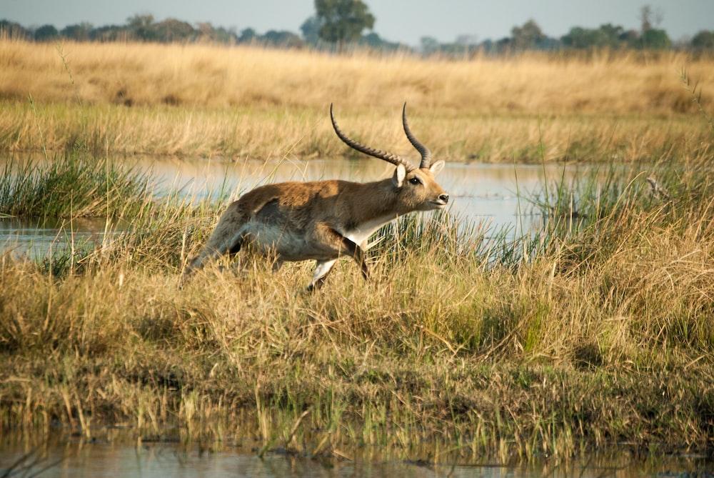 brown deer running on brown field