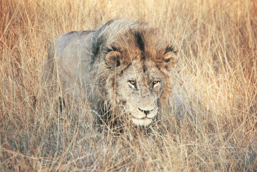 lion walking on grassy field during daytime