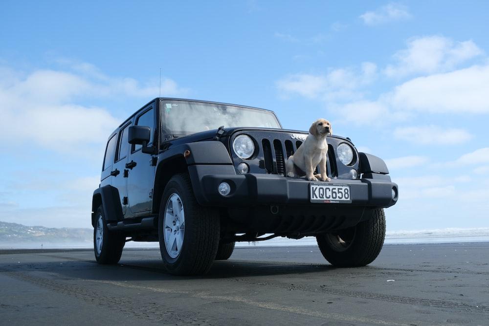 yellow Labrador retriever in front of black SUV