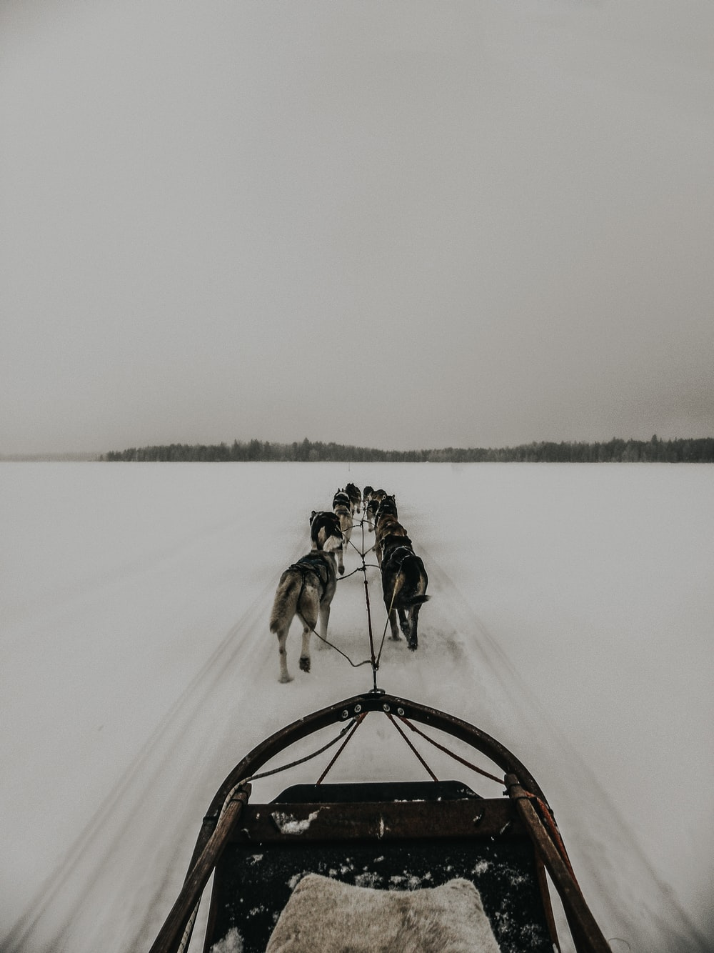 group of dogs and a sleigh