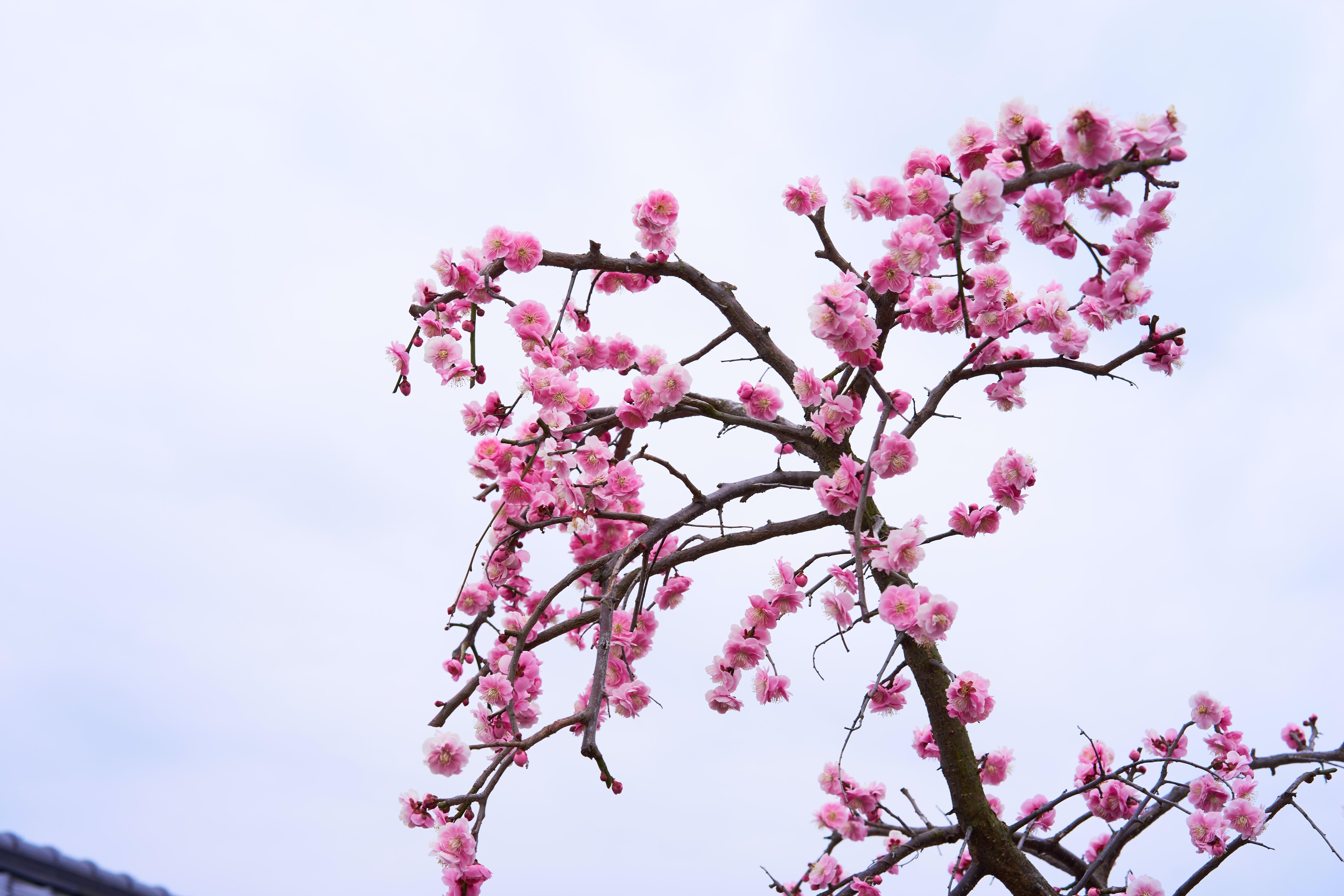 pink cherry blossom at daytime