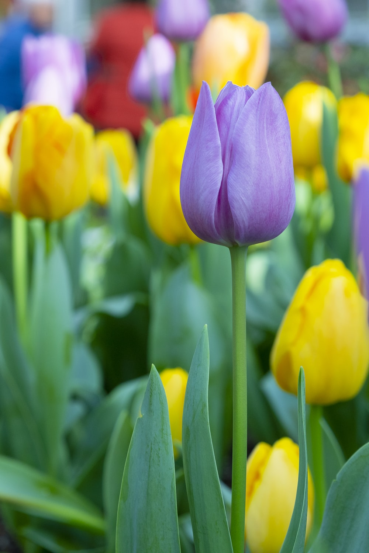 close-up photo of purple tulip flower