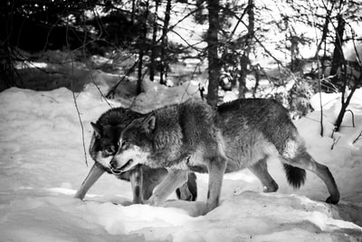two wolves on snow gray wolf teams background