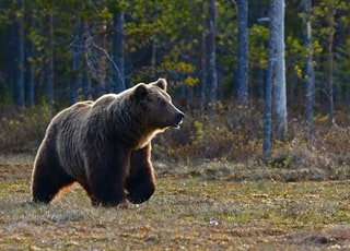 brown bear walking near trees