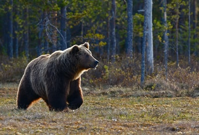 brown bear walking near trees bear teams background