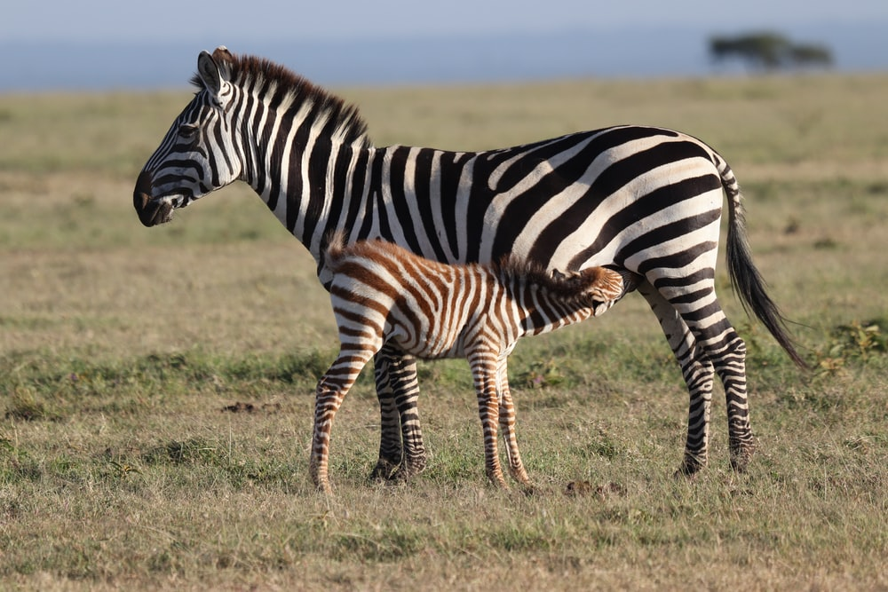zebra with foal at the field during day
