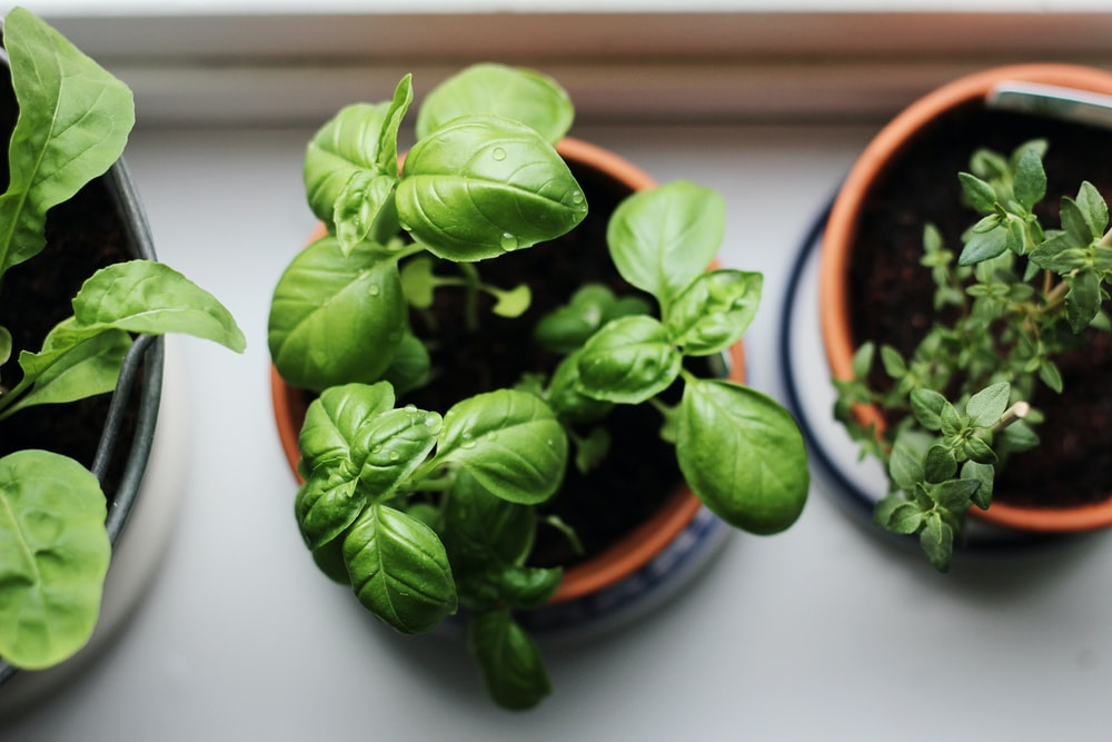 potted basil and rose mary herb plants