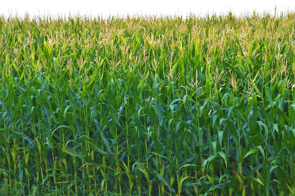 corn field in selective photography