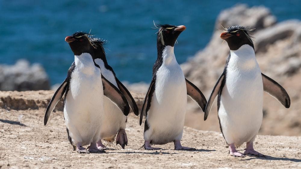 four penguins walking on brown surface near sea during daytime