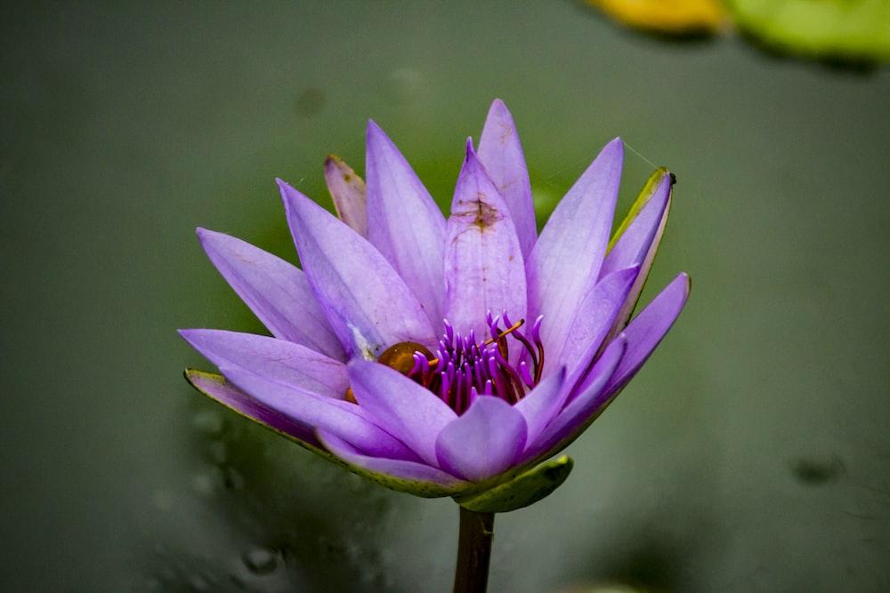 purple lily flower