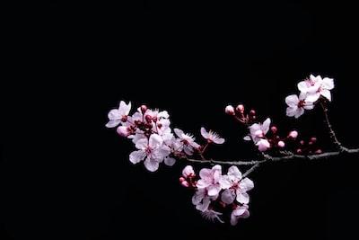 white petaled flower sakura teams background