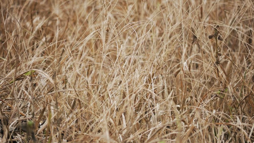 brown grass field